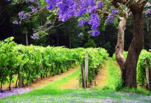 Bago Vineyards - Accommodation Batemans Bay