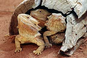 Alice Springs Reptile Centre - Accommodation Batemans Bay