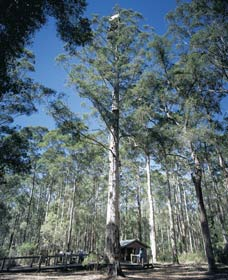Diamond Tree Lookout Manjimup - Accommodation Batemans Bay