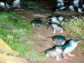 Penneshaw Penguin Centre - Accommodation Batemans Bay