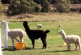 Maydena Country Cabins Accommodation  Alpaca Stud - Accommodation Batemans Bay