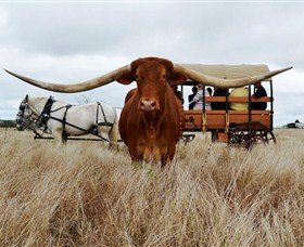 Texas Longhorn Wagon Tours and Safaris - Accommodation Batemans Bay