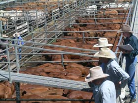 Dalrymple Sales Yards - Cattle Sales - Accommodation Batemans Bay