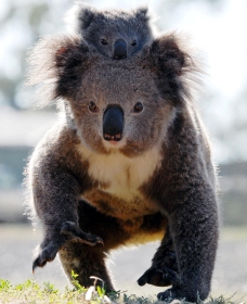 Koalas in Gunnedah - Accommodation Batemans Bay