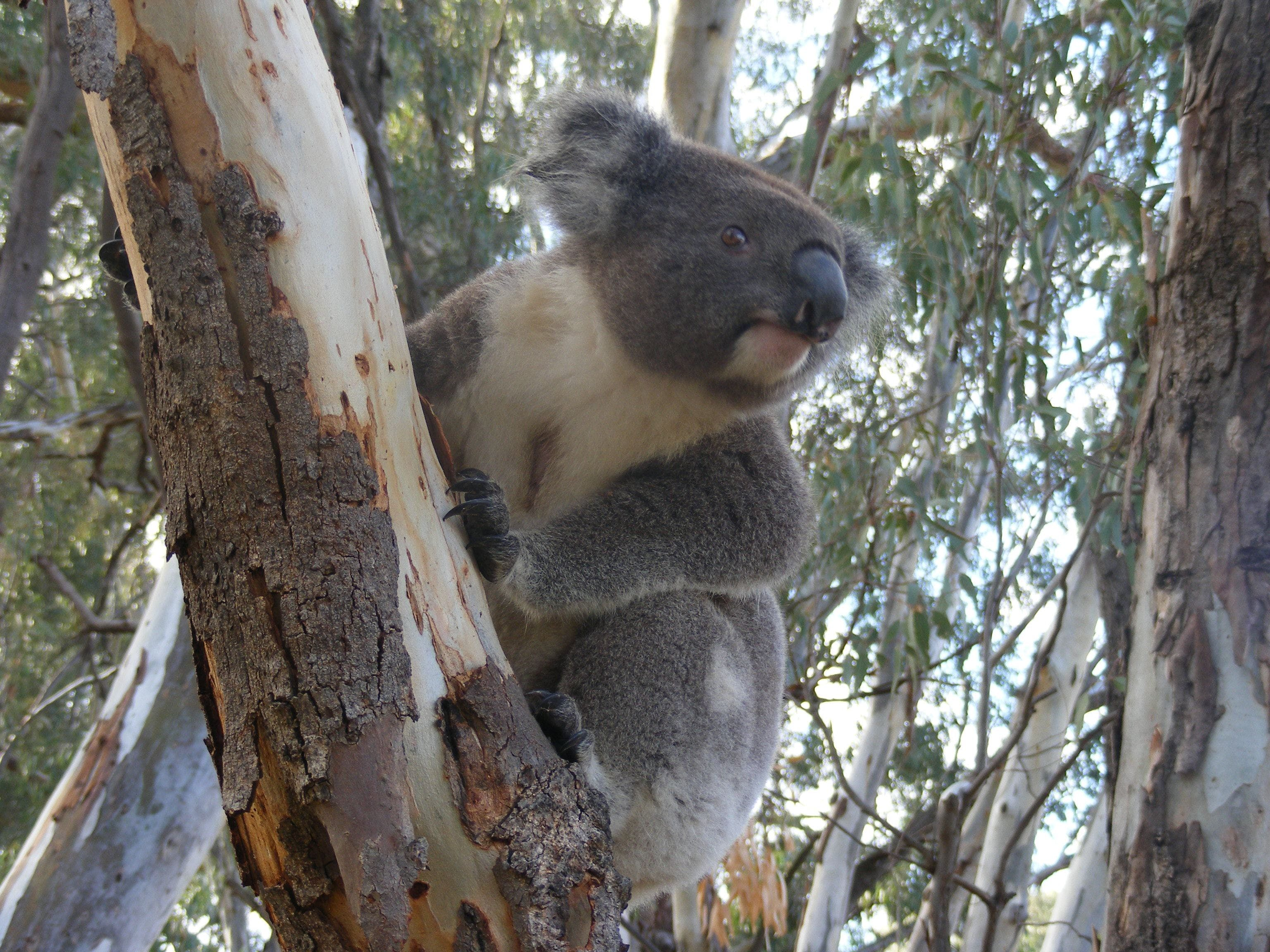 Annual Koala Count - Accommodation Batemans Bay