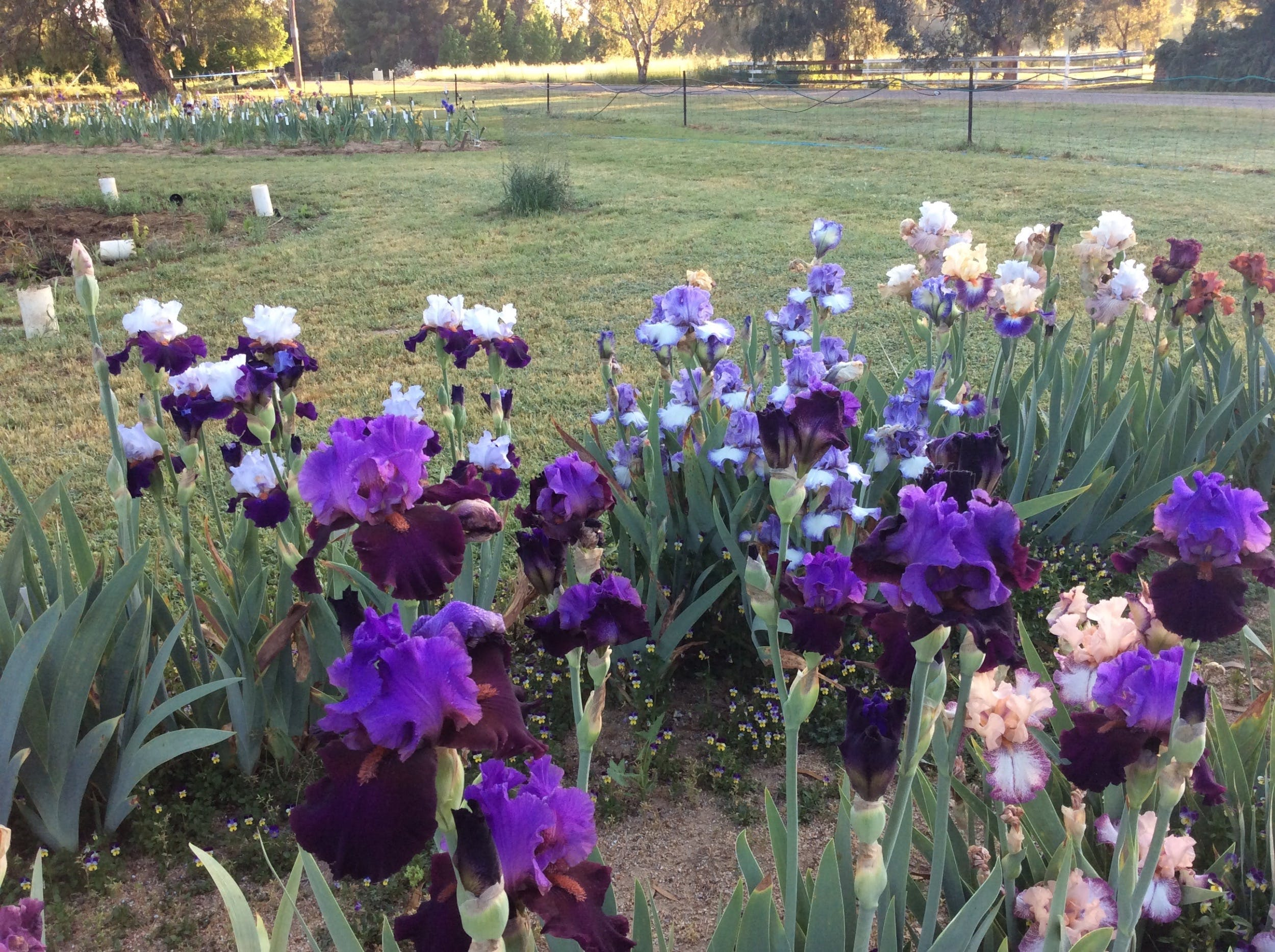 Riverina Iris Farm Open Garden and Iris Display - Accommodation Batemans Bay